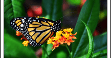 South Texas Natural Gas Pipeline Provides Flyway for Migratory Monarch Butterflies