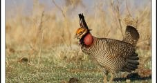 USFWS Seeking Enhanced Protections for Lesser Prairie-Chicken, which Calls Lower 48 Oil Patch Home